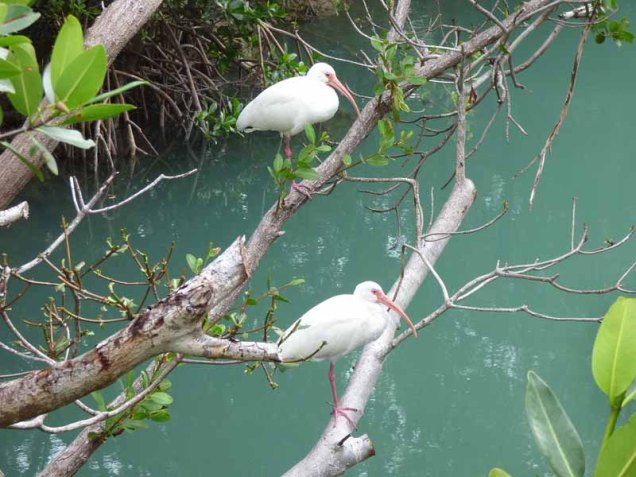 b07-two-ibis-on-branch-over-water