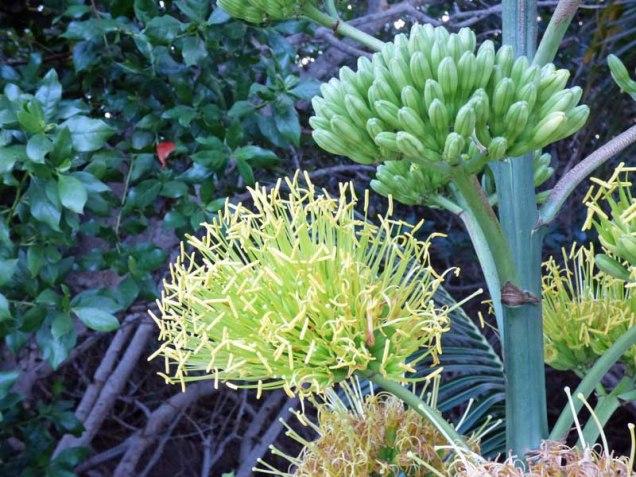 century-plant-blossom