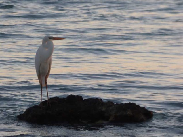 b-great-white-egret-at-sunset