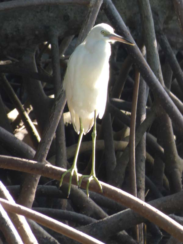 b-juvenile-little-blue-heron