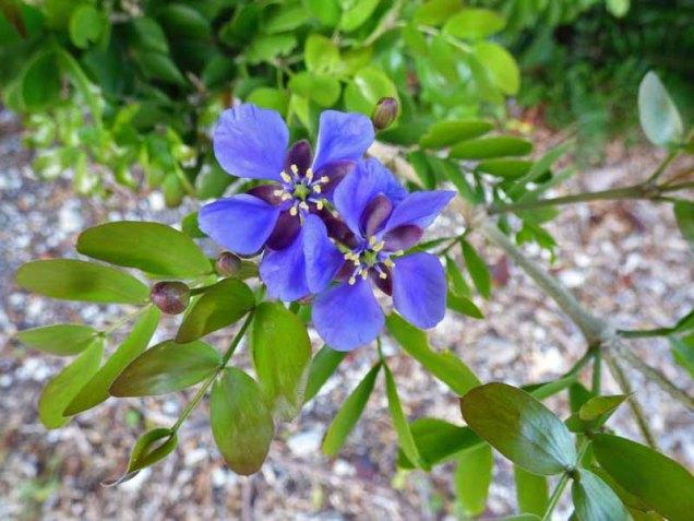 b-lignum-vitae-blossoms