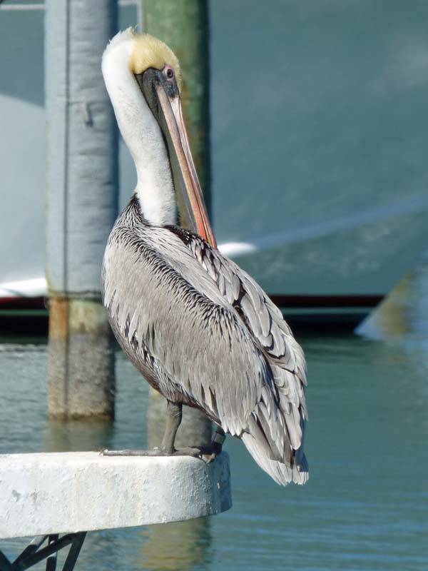 b-pelican-2