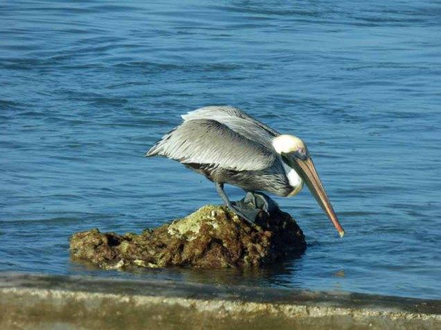 b-pelican-fishing-from-rock