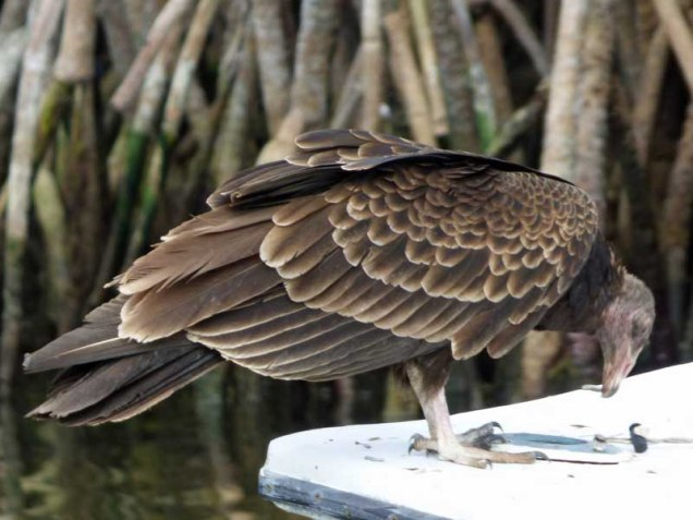 b-buzzard-feathers