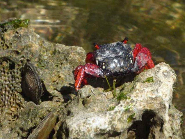 b-crab