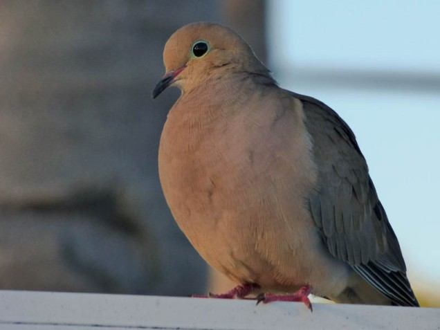 b-dove-on-railing