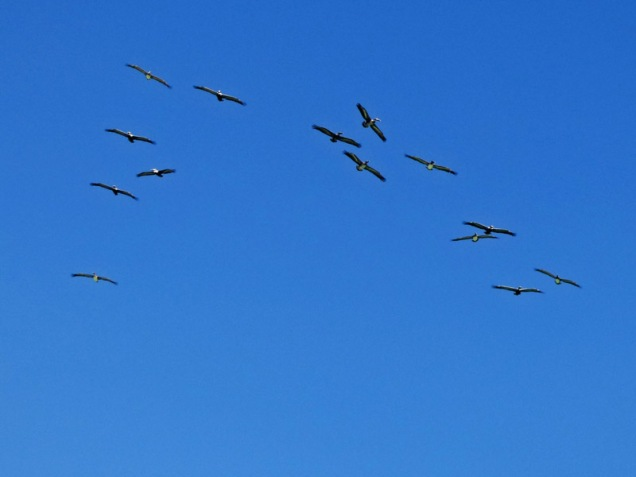 b-flock-of-pelicans