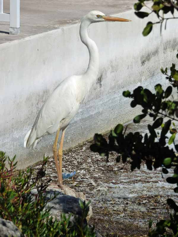 b-great-white-heron-against-white-seawall