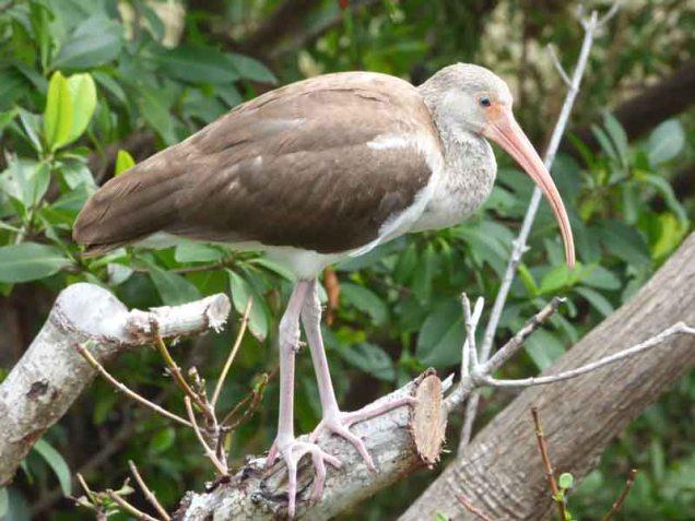 b-immature-ibis