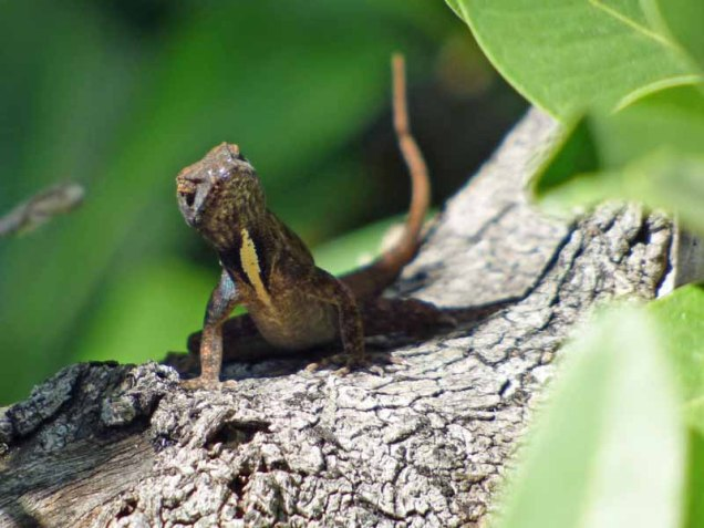 b-lizard-on-mangrove-tree