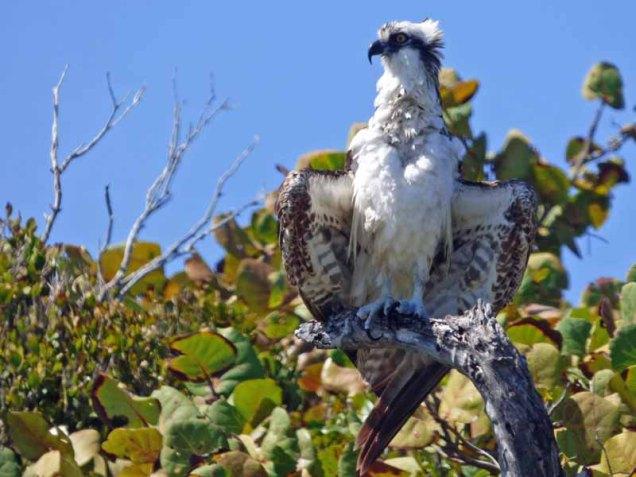 b-osprey-drying-wings