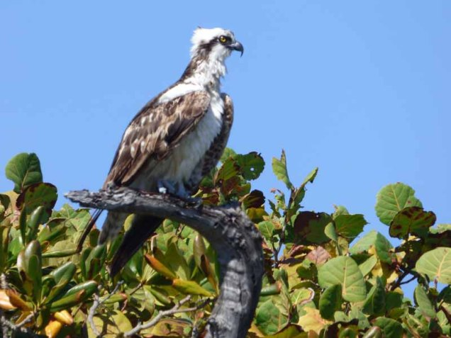 b-osprey-on-tree