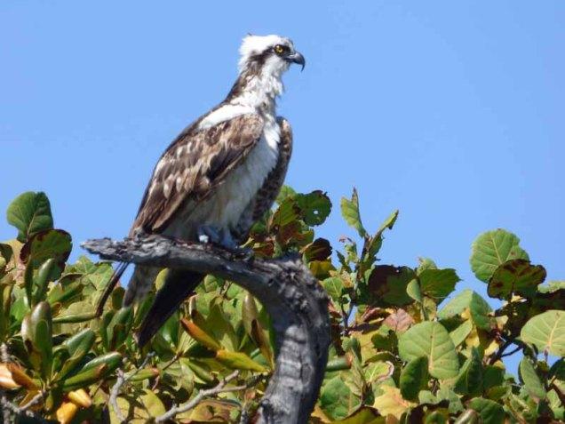 b-osprey-on-tree