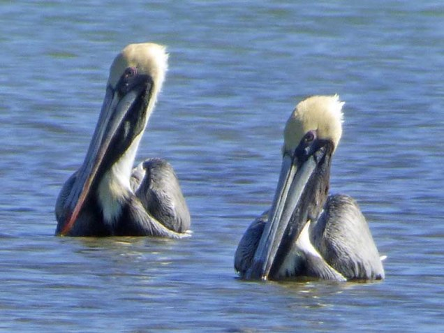 b-pair-of-pelicans