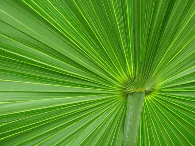 b-underside-of-thatch-palm-frond