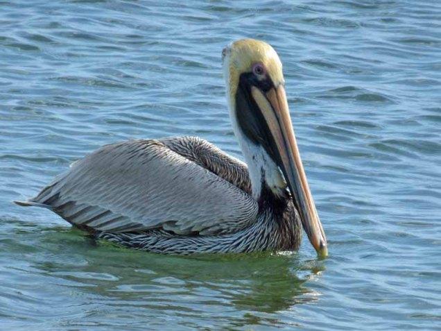 b02-pelican